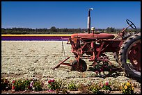 Tractor and flower field. Lompoc, California, USA ( color)
