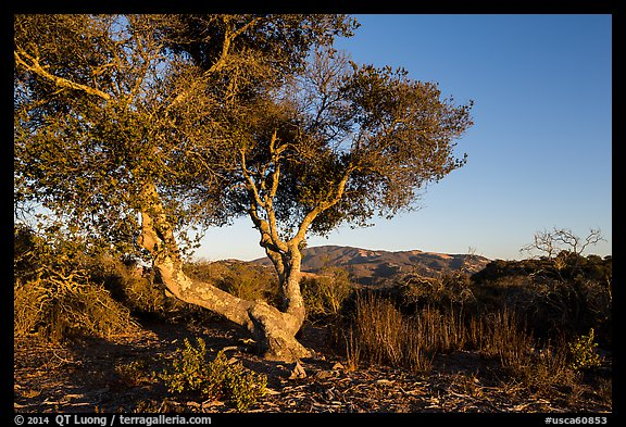 Tree and hills at sunset. California, USA (color)
