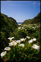 Calla Lillies, Garrapata State Park. Big Sur, California, USA ( color)