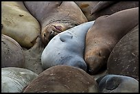 Elephant seals sleeping, Piedras Blancas. California, USA ( color)
