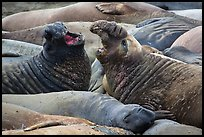 Elephant seals vocalizing, Piedras Blancas. California, USA ( color)