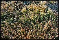 Grasses. Carrizo Plain National Monument, California, USA ( color)