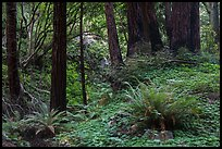 Redwood forest, Limekiln State Park. Big Sur, California, USA ( color)
