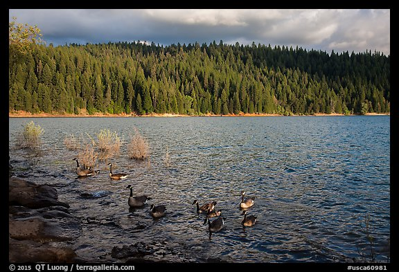 Lakeshore and geese, Jenkinson Lake. California, USA (color)