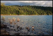 Lakeshore and geese, Jenkinson Lake. California, USA ( color)