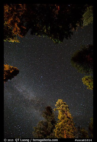 Stary sky and pine treetops. California, USA (color)