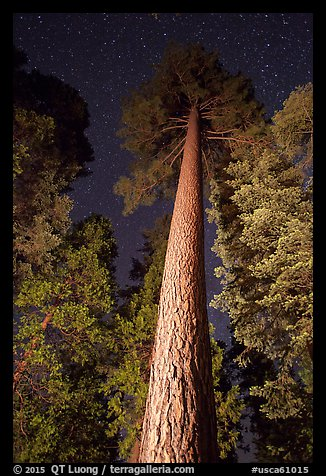 Looking up tall pine tree at night. California, USA (color)