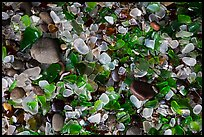 Close-up of green and clear seaglass. Fort Bragg, California, USA ( color)