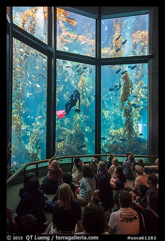 Tourists watch scuba diver feed fish in kelp forest tank. Monterey, California, USA (color)
