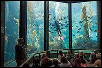 Scuba diver feeds fish in front of audience. Monterey, California, USA ( color)