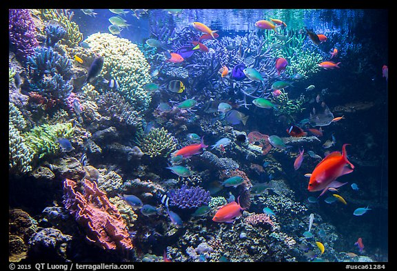 Coral and tropical fish, Monterey Bay Aquarium. Monterey, California, USA (color)