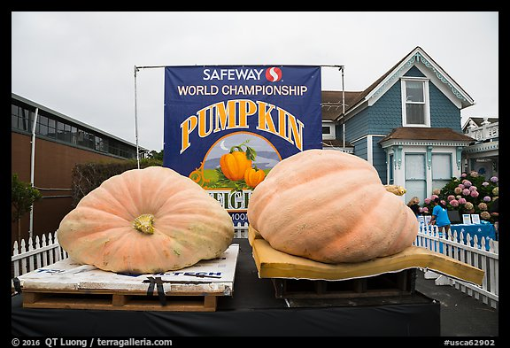 Giant pumpkins contest. Half Moon Bay, California, USA (color)
