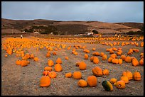 Pumpkin farm. Half Moon Bay, California, USA ( color)