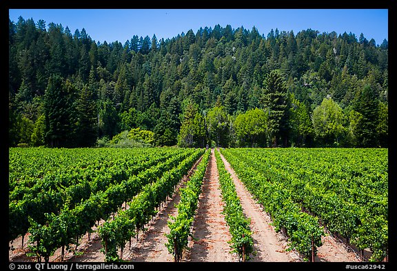 Vineyard, Korbel Winery, Guerneville. California, USA (color)
