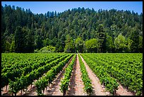 Vineyard, Korbel Winery, Guerneville. California, USA ( color)