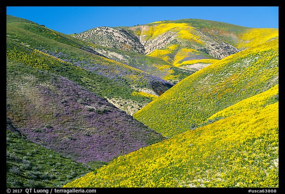 Wildflowers-covered hills, Temblor Range. Carrizo Plain National Monument, California, USA (color)