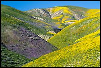Wildflowers-covered hills, Temblor Range. Carrizo Plain National Monument, California, USA ( color)