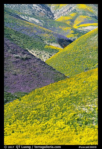 Intersecting ridges of wildflowers-covered hills, Temblor Range. Carrizo Plain National Monument, California, USA (color)