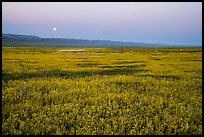 Moonrise over field of goldfied flowers. Carrizo Plain National Monument, California, USA ( color)