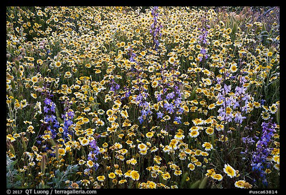 Tidytips and larkspur wildflowers. Carrizo Plain National Monument, California, USA (color)