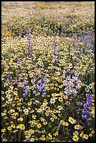 Mat of tidytips and purple wildflowers. Carrizo Plain National Monument, California, USA ( color)