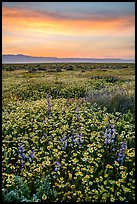 Sunrise over carpet of spring wildflowers. Carrizo Plain National Monument, California, USA ( color)
