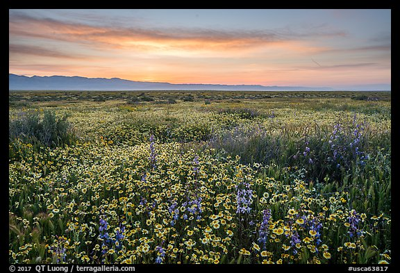 Dense wildflower mat and Temblor Range at sunrise. Carrizo Plain National Monument, California, USA (color)