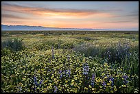 Dense wildflower mat and Temblor Range at sunrise. Carrizo Plain National Monument, California, USA ( color)