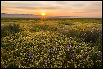 Sun rising over endless flowers. Carrizo Plain National Monument, California, USA ( color)