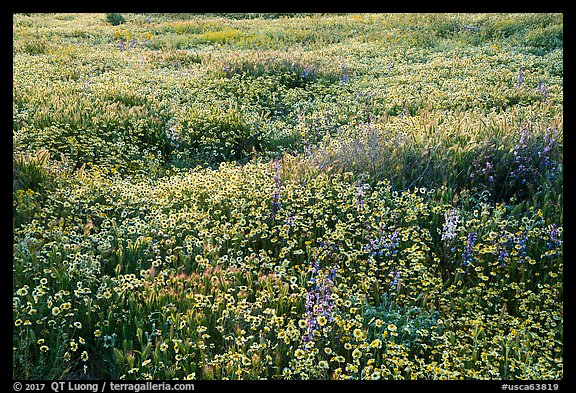 Dense carpet of tidytips. Carrizo Plain National Monument, California, USA (color)