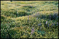 Dense carpet of tidytips. Carrizo Plain National Monument, California, USA ( color)