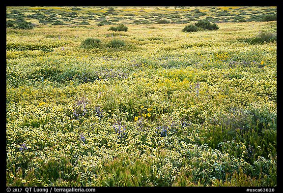 Flower carpet. Carrizo Plain National Monument, California, USA (color)