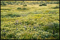 Flower carpet. Carrizo Plain National Monument, California, USA ( color)