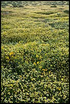 Hillside daisies and tidytips. Carrizo Plain National Monument, California, USA ( color)
