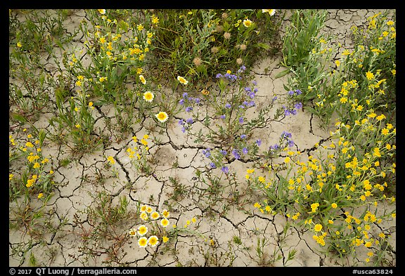 Close-up of tidytips, hillside daisies, phacelia, and mud cracks. Carrizo Plain National Monument, California, USA (color)