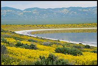 Yellow wildflowers, pond, Temblor Range. Carrizo Plain National Monument, California, USA ( color)