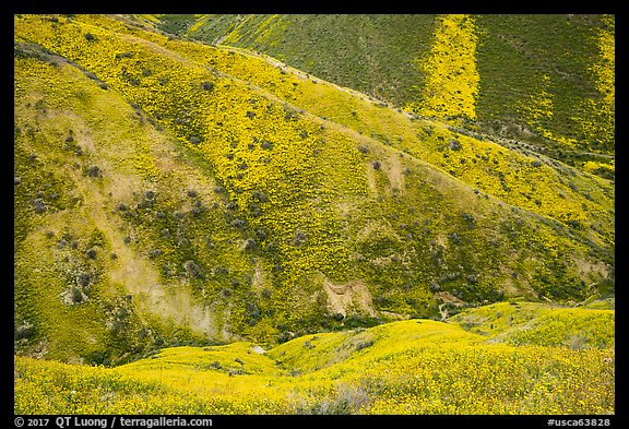 Canyon walls covered with yellow wildflowers, Temblor Range. Carrizo Plain National Monument, California, USA (color)
