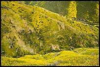 Canyon walls covered with yellow wildflowers, Temblor Range. Carrizo Plain National Monument, California, USA ( color)