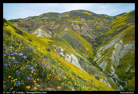 Phacelia, poppies, goldfields, Temblor Range hills. Carrizo Plain National Monument, California, USA (color)