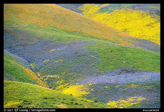 Multicolored mosaic of wildflowers on hill. Carrizo Plain National Monument, California, USA (color)