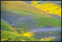 Multicolored mosaic of wildflowers on hill. Carrizo Plain National Monument, California, USA ( color)