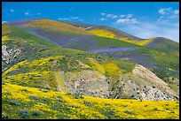 Hills covered with multicolored flower carpets. Carrizo Plain National Monument, California, USA ( color)