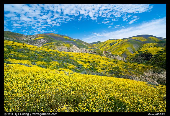 Temblor Range hills covered with wildflower mats. Carrizo Plain National Monument, California, USA (color)