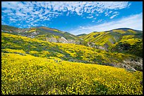 Temblor Range hills covered with wildflower mats. Carrizo Plain National Monument, California, USA ( color)