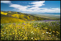 Carpet of daisies and phacelia high above Carrizo Plain. Carrizo Plain National Monument, California, USA ( color)