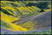 Gully covered with yellow daisies and purple phacelia. Carrizo Plain National Monument, California, USA ( color)
