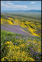 Field of hillside daisies and phacelia on Temblor Range hills above Carrizo Plain. Carrizo Plain National Monument, California, USA ( color)
