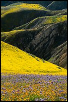 Blazing stars, phacelia, hillside daisies, and folds. Carrizo Plain National Monument, California, USA ( color)