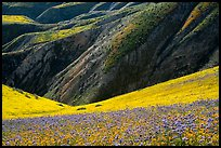 Hills with blazing stars, phacelia, hillside daisies, and folds. Carrizo Plain National Monument, California, USA ( color)