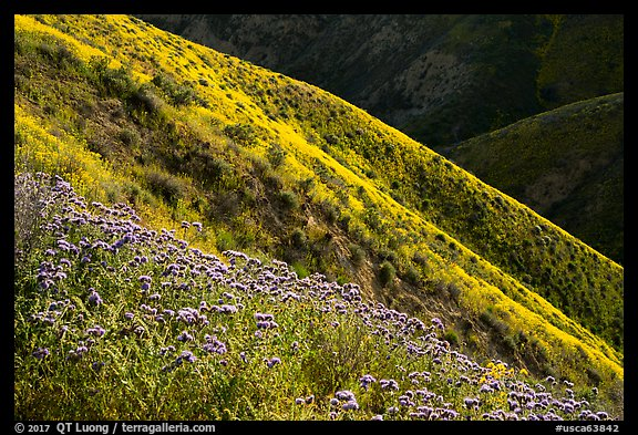 Purple Phacelia and ridges covered by yellow hillside daisies. Carrizo Plain National Monument, California, USA (color)